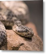 A Tiger Rattlesnake At The Henry Doorly Metal Print