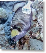 A Titan Triggerfish Faces Metal Print