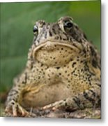 A Toad Appears To Be Frowning He Sits Metal Print