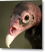 A Turkey Vulture At The Henry Doorly Metal Print