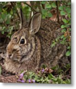 A Very Fine Bunny Resting Under The Lilac Bush Metal Print