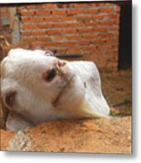 A Visit With A Smiling Goat Metal Print