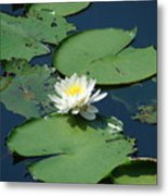 A Water Lily Bloom Metal Print