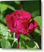 A Watered Rose  Metal Print