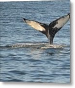 A Whale Of A Tail Bar Harbor Metal Print