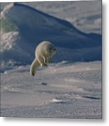 A White Arctic Fox, Alopex Lagopus Metal Print