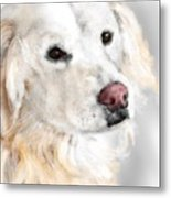 A White Golden Retriever Metal Print