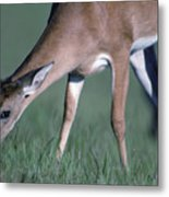 A White-tail Deer Munches On Some Green Metal Print