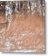 A White-tailed Deer In A Snow Storm Metal Print