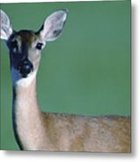 A White-tailed Deer On The Prairie Metal Print