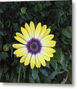 A Yellow Daisy Exhibit Metal Print