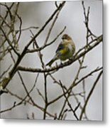 A Yellow-rumped Warbler In The Evening Metal Print