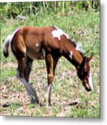 A Young Painted Colt  Metal Print