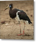 Abdim Stork Walks Right-to-left Across Muddy Ground Metal Print