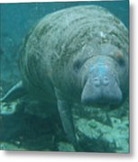 About To Meet A Manatee Metal Print