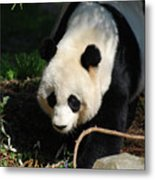 Absolutely Beautiful Giant Panda Bear With A Sweet Face Metal Print