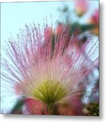 Acacia Bloom Metal Print