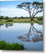 Acacia Tree Reflection Metal Print