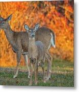 Acadia Deer Metal Print