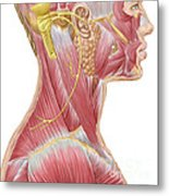 Accessory Nerve View Showing Neck Metal Print