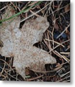 Aceraceae Untouched Metal Print