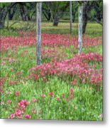 Adding A Splash Of Color-indian Paintbrush In Texas Metal Print