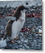 Adelie Penguin Chick Running Along Stony Beach Metal Print
