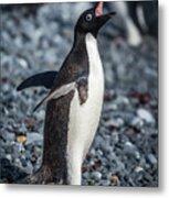 Adelie Penguin Squawking On Grey Shingle Beach Metal Print