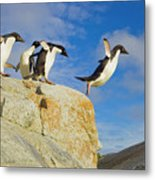 Adelie Penguins Jumping Metal Print