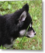 Adorable Alusky Pup Creeping Through Tall Blades Of Grass Metal Print