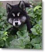Adorable Alusky Puppy Hiding In A Garden Metal Print