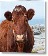 Adorable Brown Cow Standing On The Burren Metal Print