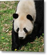 Adorable Face Of A Black And White Giant Panda Bear Metal Print