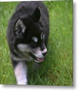 Adorable Fluffy Alusky Puppy Walking In Tall Grass Metal Print