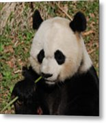 Adorable Giant Panda Eating A Green Shoot Of Bamboo Metal Print