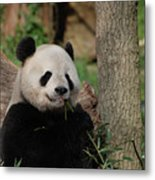 Adorable Giant Panda Eating A Shoot Of Bamboo Metal Print