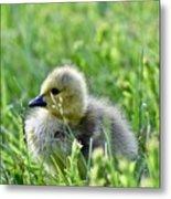 Adorable Goose Chick Metal Print
