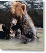 Adorable Grizzly Bear Playing With A Maple Leaf While Sitting In Metal Print