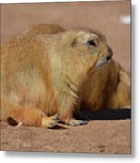 Adorable Pair Of Chubby Black Tailed Prairie Dogs Metal Print