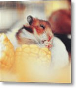 Adorable Tiny Hamster Pet Feasting On Corn Metal Print