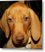 Adorable Vizsla Puppy Metal Print