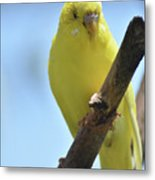 Adorable Yellow Budgie Parakeet Bird Close Up Metal Print