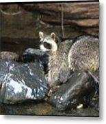Adult Raccoon Hunting Metal Print