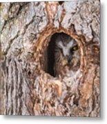Adult Saw-whet Owl Metal Print
