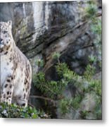 Adult Snow Leopard Standing On Rocky Ledge Metal Print