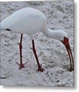 Adult White Ibis Metal Print