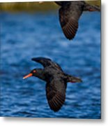 African Black Oystercatchers Metal Print