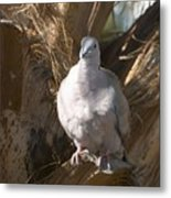 African Collared Dove 3 Metal Print