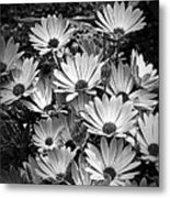 African Daisies In Black And White Metal Print