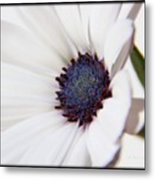 African Daisy  Sky And Ice Metal Print
